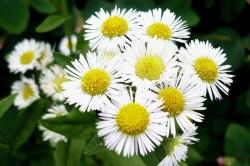 Ромашка для лечения аллергии