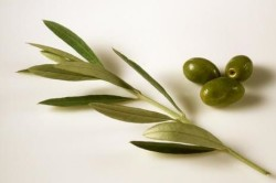 Использование оливкового листа для устранения заложенности носа при аллергии
