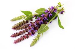 Польза шалфея при аллергии