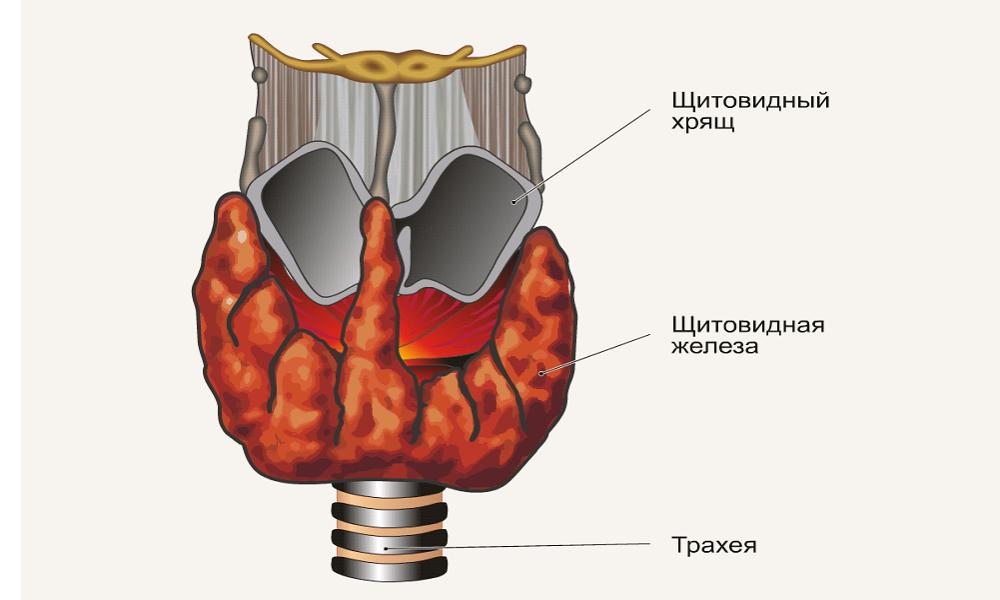 zheleza-shitovidnaya