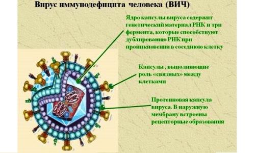 Структура вируса иммунодефицита человека