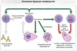 Нарушение функций лимфоцитов - следствие злоупотребления алкоголем