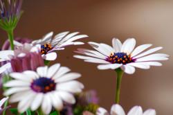 Маргаритки - причина аллергии