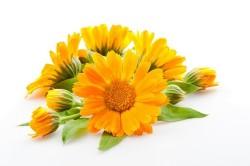 Календула для лечения аллергии
